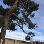 tala-pino-peligroso-5