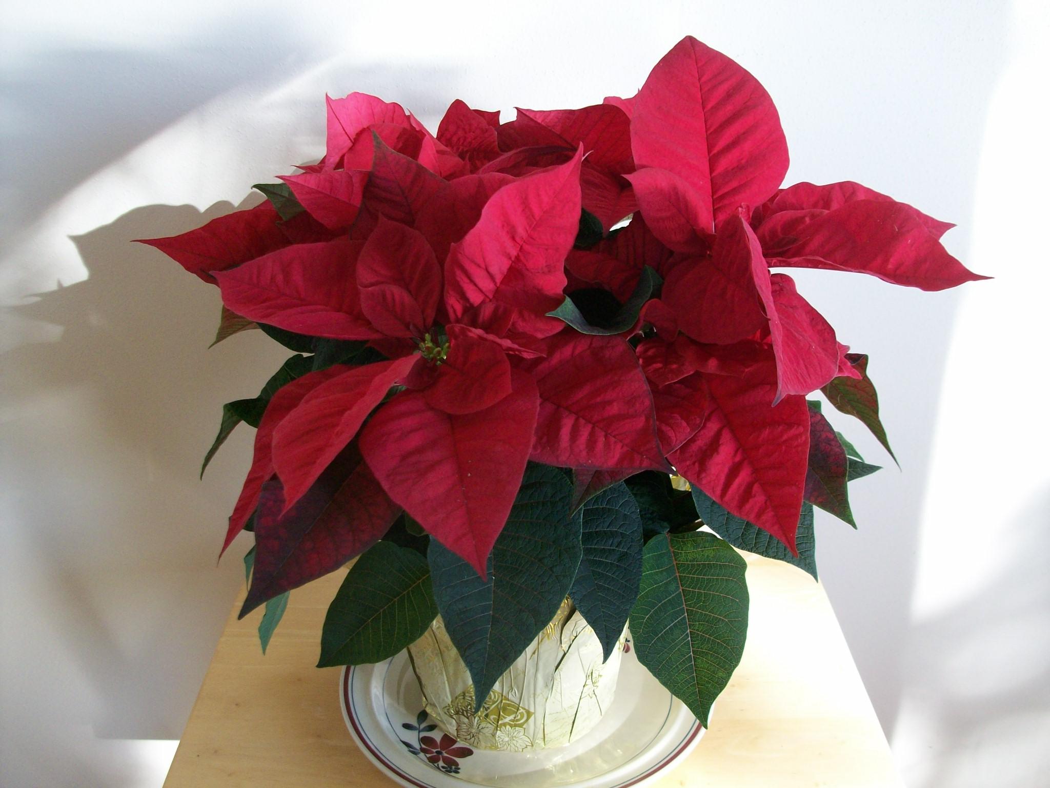 Cuidado flor de pascua jardineria poinsettia soler y - Flor de pascua cuidados ...