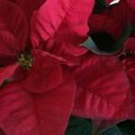 Como cuidar tu flor de pascua (poisenttia)