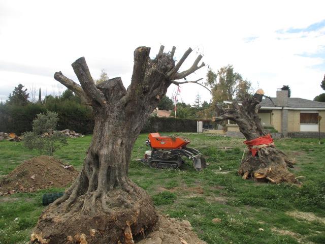 plantacion olivos en zaragoza