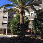Poda y Limpieza de palmeras Phoenix Canariensis en Zaragoza